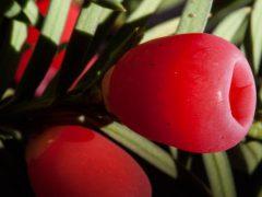 Taxus Baccata von Heckenpflanzen Heijnen